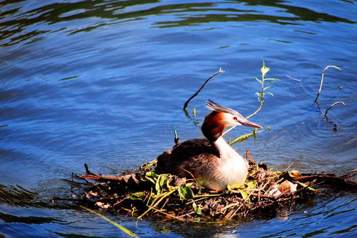 Nesting on the Water - David Jones