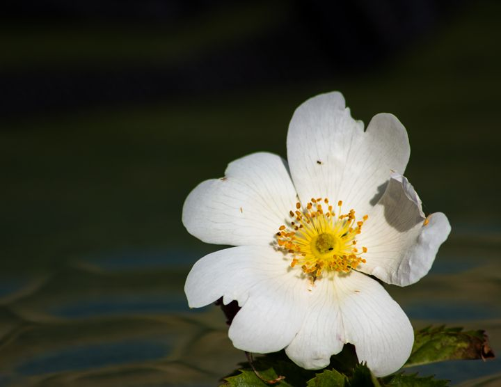 Flower head white - David Jones
