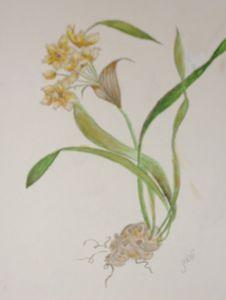 Narcissus (also called Jonquilla)
