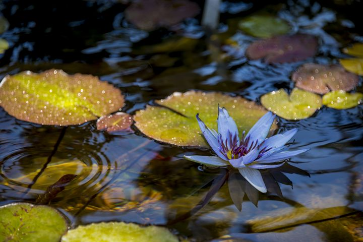 Blue Water Lily Pond - Brian Harig Photography