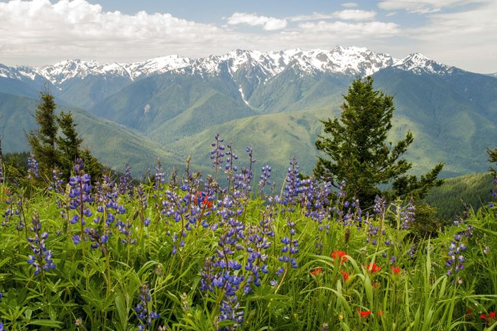 Olympic Mountain Wildflowers - Brian Harig Photography