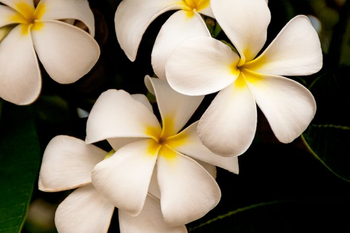 Yellow and White Plumeria - Brian Harig Photography