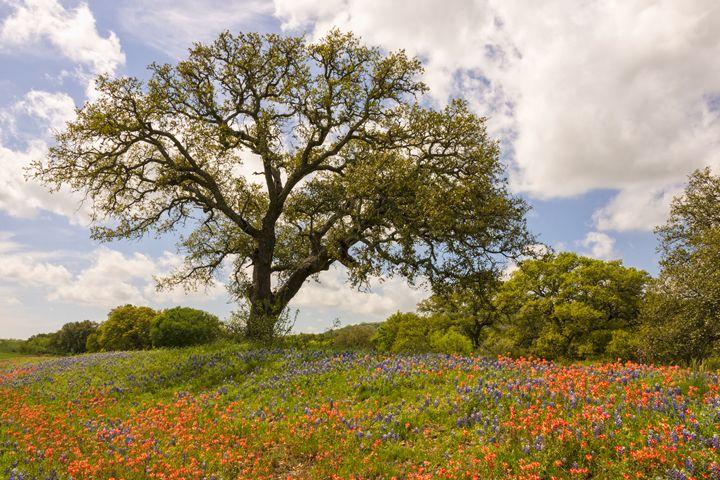 Bluebonnets Paintbrush and Oak Tree - Brian Harig Photography