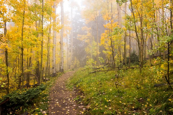 Foggy Winsor Trail Aspens in Autumn - Brian Harig Photography