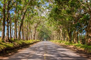 Eucalyptus Tree Tunnel - Kauai Hawai