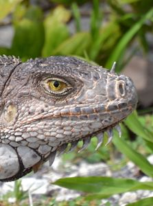 Iguana Portrait - Fine Art Photography, Nature and More!