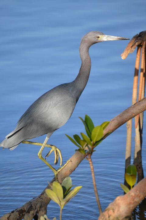 Great Blue Heron - Fine Art Photography, Nature and More!