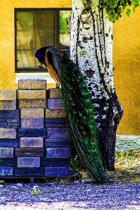 Peacock - Ron Pierce Photography