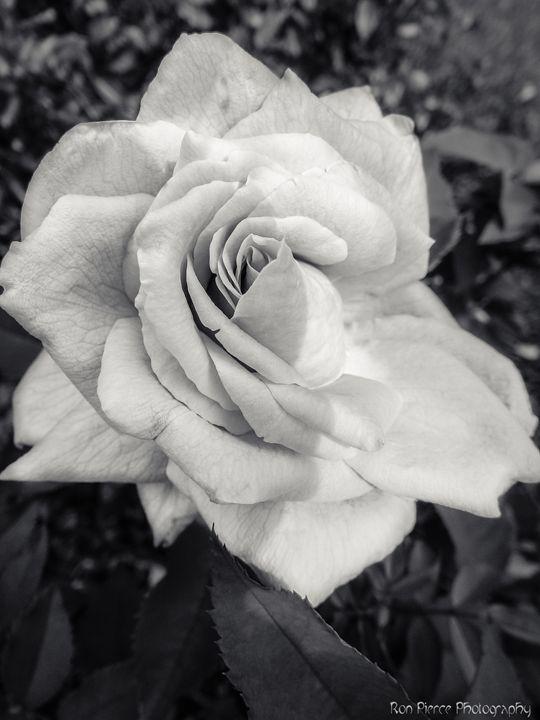 White Petals - Ron Pierce Photography