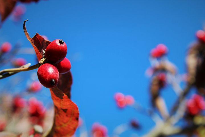 Berries - Alyssa's Gallery