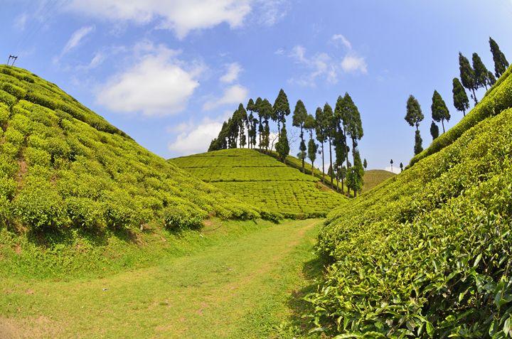 Darjeeling Tea Garden - Bhaswaran