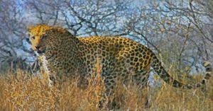 Cheetah in the Bush
