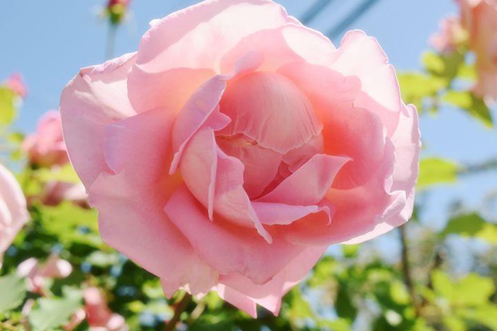 Daylight rose - Alexandra Chidu