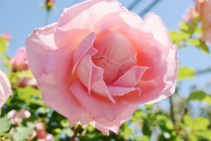 Daylight rose