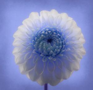 Blue Dahlia - Christine56