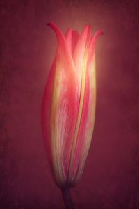 Lily With Mulled Wine Tones