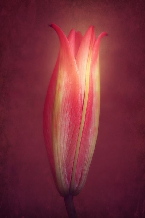 Lily With Mulled Wine Tones - Christine56