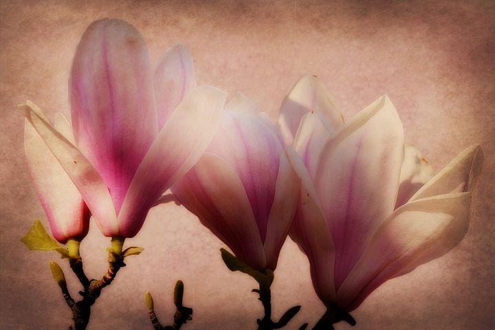 Spring Magnolia - Christine56