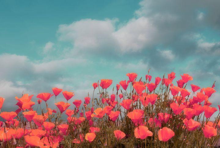 Poppy Days - Christine56