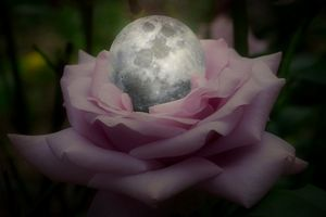 A Rose With A Silver Moon