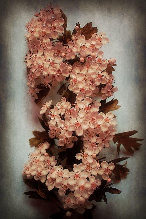 Vintage Blossom In Creamy Pink - Christine56