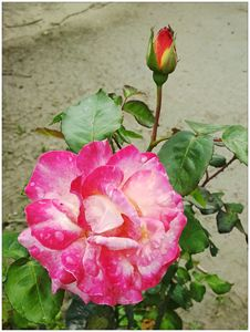 Rain rose and bud