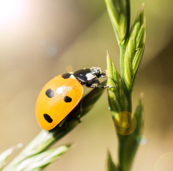 Ladybug - Zsa Zsa F
