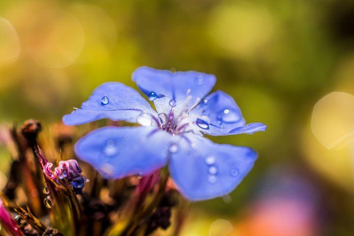 Dewdrops - Zsa Zsa F