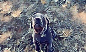Grey Cain Corso Pup