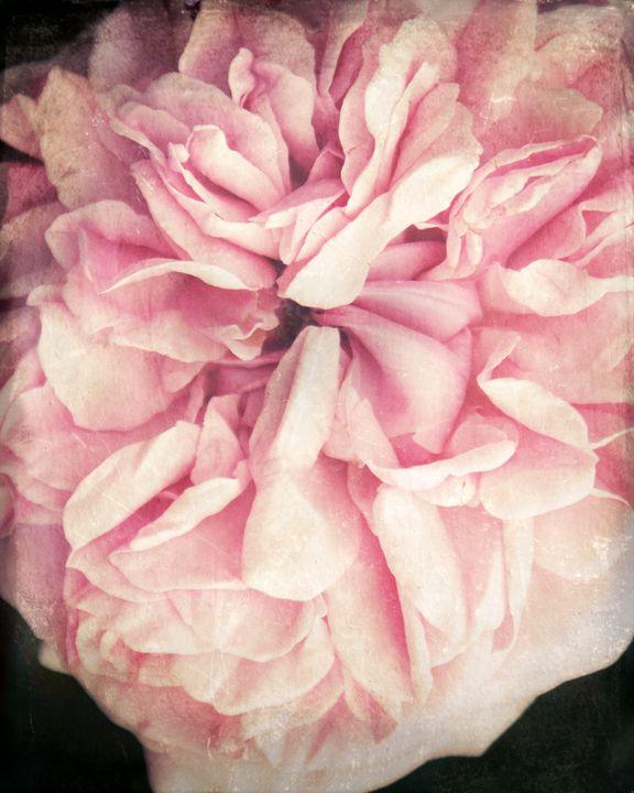 Vintage Rose - Flowers by Alaya Gadeh