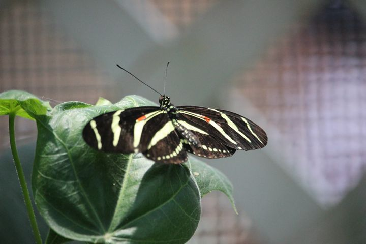 Black and White Butterfly - Kasper Gallery