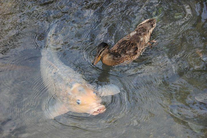 fish and duck - Kasper Gallery