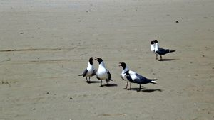 Talking Terns