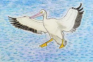 American Pelican - Amitava0112
