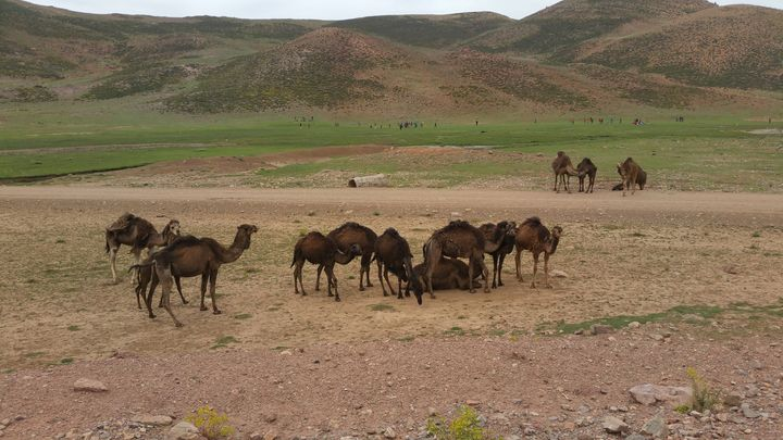 camels - lahcen  picture