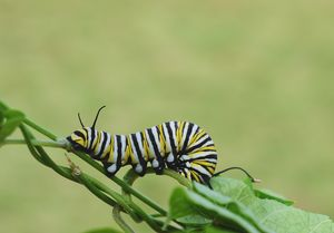 Monarch caterpillar on vine