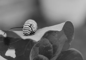 Black and white Monarch caterpillar