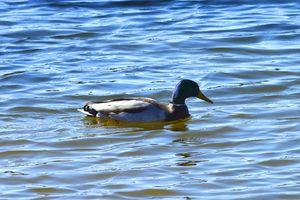 Mallard duck on a sunny day