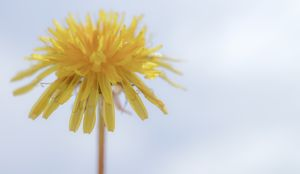 Dandelion and the sky