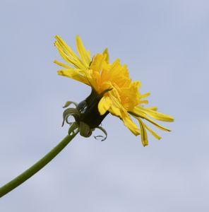 A wet dandelion