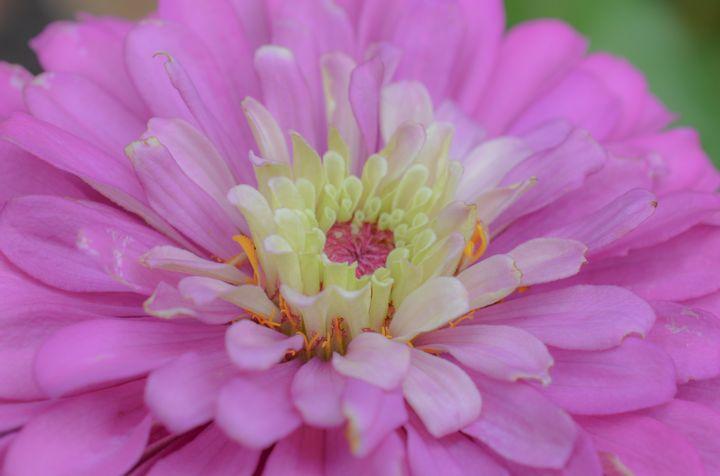 Hot Pink Zinnia - Jennifer Wallace