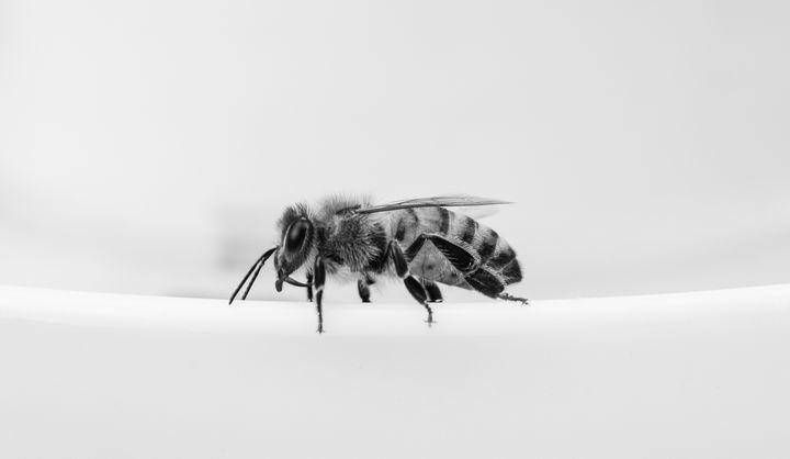 Classy Black and White Bee - Jennifer Wallace