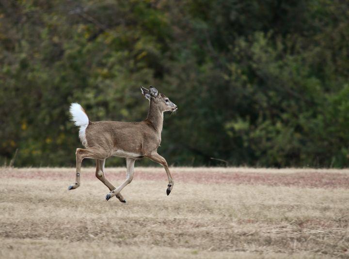 The run away deer - Jennifer Wallace