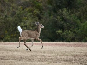 The run away deer