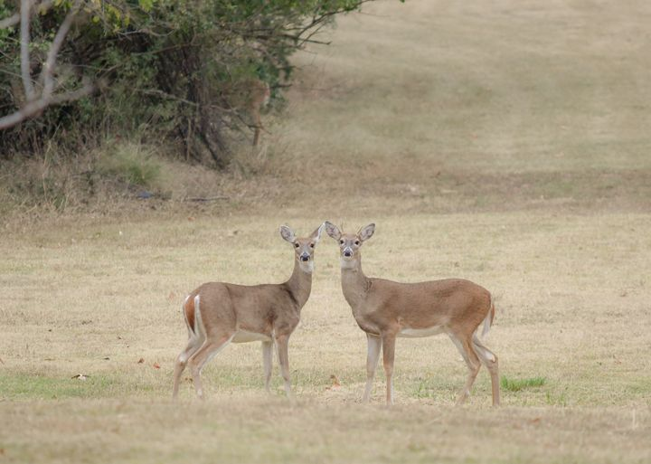 A beautiful deer couple - Jennifer Wallace