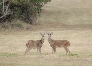 A beautiful deer couple