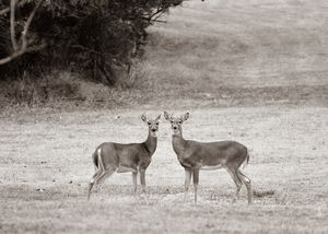 Sepia Deer Couple Image