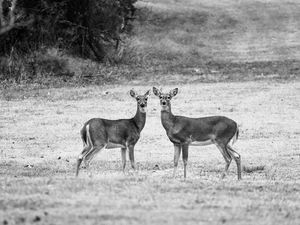 Black and white deer couple image