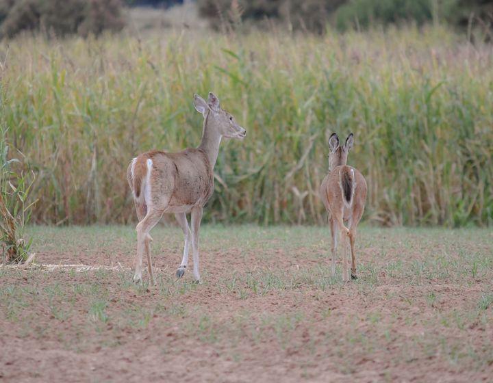 White-tailed Deer - Jennifer Wallace
