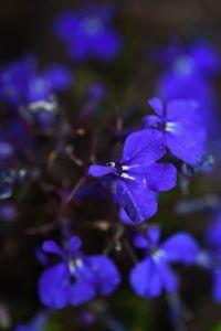 Blue Lobelia Flower